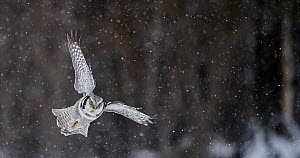 Hawk owl (Surnia ulula) looking intently at the ground, could  be able to swoop on prey, Kuusamo Finland February - Markus Varesvuo
