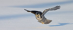Hawk owl (Surnia ulula) flying low over ground, Kuusamo Finland February - Markus Varesvuo