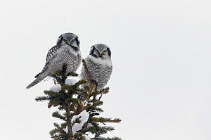 Hawk owl (Surnia ulula) two perched on top of conifer tree, Kuusamo Finland February - Markus Varesvuo