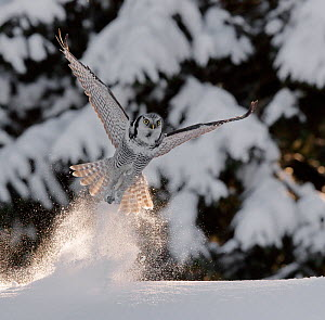 Hawk owl (Surnia ulula) takingn off from powder snow, possibly with prey in talons, Kuusamo Finland February - Markus Varesvuo