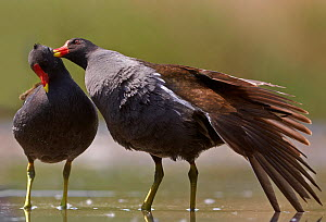Moorhen (Gallinula chloropus) one preening another, part of courtship, Hungary May  -  Markus Varesvuo