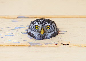 Pygmy owl (Glaucidium passerinum) head peering out of nest hole, Kuusamo, Finland February  -  Markus Varesvuo