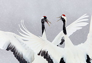 Japanese / Red-crowned crane (Grus japonicus) two calling and dancing, part of bonding and courtship display, Hokkaido Japan February  -  Markus Varesvuo