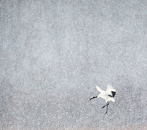 Japanese / Red-crowned crane (Grus japonicus) one coming into land, Hokkaido Japan February  -  Markus Varesvuo