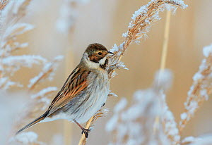 Reed bunting (Emberiza schoeniclus) in frostry branches, Espoo Finland January  -  Markus Varesvuo