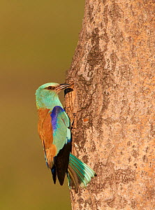 European roller (Coracias garrulus) perched on tree bark, Hungary May  -  Markus Varesvuo