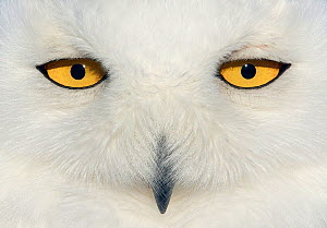 Snowy owl (Bubo scandiaca) female face close up, Canada February - Markus Varesvuo