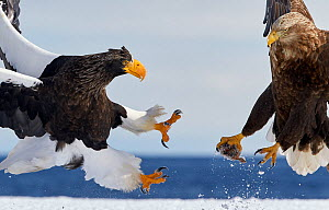 Steller's sea eagle (Haliaeetus pelagicus) fighting over food with White-tailed eagle (Haliaeetus albicilla) Hokkaido Japan February - Markus Varesvuo