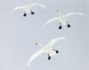 Whooper swans (Cygnus cygnus) three coming into land, Hokkaido, Japan, February - Markus Varesvuo