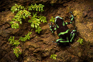 Green and black poison frog (Dendrobates auratus) Costa Rica, April 2015.  -  Nick Hawkins