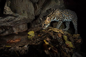 Ocelot (Leopardus pardalis) visitng water hole, camera trap image,  Nicoya Peninsula, Costa Rica, April 2015.  -  Nick Hawkins