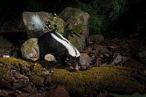 Stripe hog-nosed skunk (Conepatus semistriatus) camera trap image,  Nicoya Peninsula, Costa Rica, March 2015. - Nick Hawkins