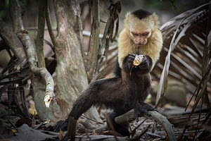 White-faced capuchin monkey (Cebus capucinus) finding insects in wood, Curu National Park, Costa Rica. March 2015. - Nick Hawkins