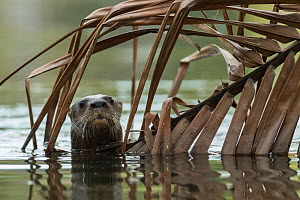 Neotropical river otter (Lontra longicaudis) in water, Nicoya Peninsula, Costa Rica, March 2015. - Nick Hawkins
