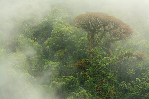 Cloud forest scene in the Monteverde Cloud Forest Reserve, Costa Rica, February 2015.  -  Nick Hawkins