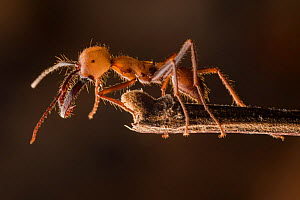 Army ant (Eciton sp.) soldier, Costa Rica. February 2015. - Nick Hawkins