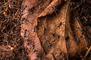 Army ants (Eciton sp.) Costa Rica. February 2015. - Nick Hawkins