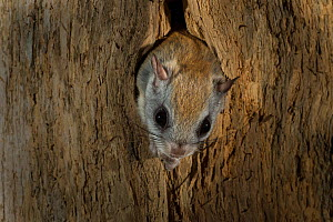 Northern flying squirrel (Glaucomys sabrinus) in nest cavity, New Brunswick, Canada, December 2014.  -  Nick Hawkins