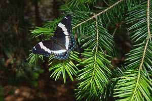 White admiral butterfly (Limenitis arthemis) on pine branch, New Brunswick, Canada, June 2014.  -  Nick Hawkins