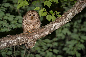 Barred owl (Strix varia) New Brunswick, Canada, June. - Nick Hawkins