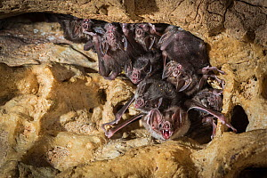 Common vampire bats (Desmodus rotundus) roosting in cave, Costa Rica.  -  Nick Hawkins