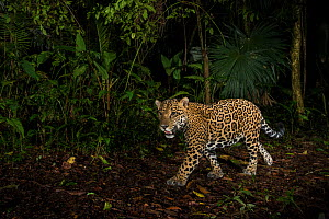 Jaguar (Panthera onca) camera trap image,  Tortuguero National Park, Costa Rica. - Nick Hawkins