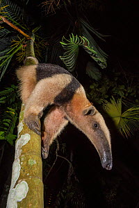 Northern tamandua (Tamandua mexicana) climbing down tree, Nicoya Peninsula, Costa Rica, April 2013.  -  Nick Hawkins