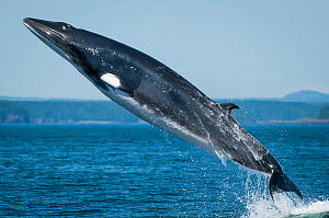 Minke whale (Baelanoptera acutorostrata) breaching, Bay of Fundy, New Brunswick, Canada, July.  -  Nick Hawkins