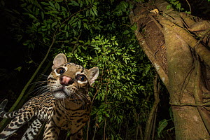 Ocelot (Leopardus pardalis) viewed from below. camera trap image, Nicoya Peninsula, Costa Rica.  -  Nick Hawkins