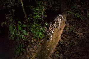 Ocelot (Leopardus pardalis) walking on tree trunk. camera trap image, Nicoya Peninsula, Costa Rica.  -  Nick Hawkins