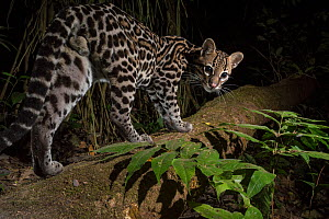 Ocelot (Leopardus pardalis) walking, camera trap image,  Nicoya Peninsula, Costa Rica.  -  Nick Hawkins
