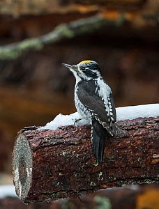 Three-toed woodpecker (Picoides tridactylus), male, Finland, December. - Jussi  Murtosaari