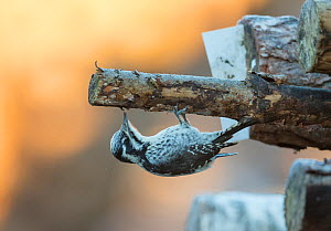 Three-toed woodpecker (Picoides tridactylus) female, feeding on grubs in cut wood, Finland, December - Jussi  Murtosaari