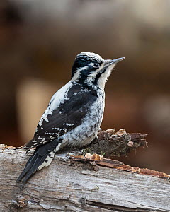 Three-toed woodpecker (Picoides tridactylus), female, Finland, December. - Jussi  Murtosaari