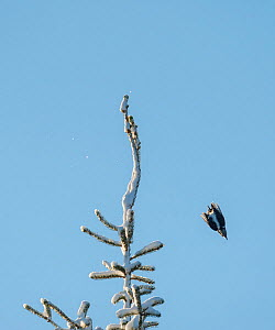 Three-toed woodpecker (Picoides tridactylus) female in flight, Finland, January. - Jussi  Murtosaari