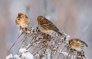 Twite (Carduelis flavirostris), and two Common redpoll (Carduelis flammea), at winter, Finland, January.  -  Jussi  Murtosaari
