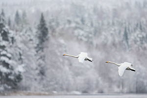 Whooper swan (Cygnus cygnus) pair in flight in snowy landscape, Finland, November. - Jussi  Murtosaari