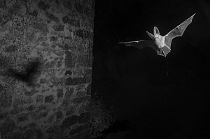 Long eared bat (Plecotus austriacus) flying in garden taken with infrared light at night. France, May. - Eric  Medard