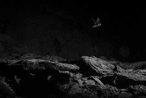 Storm petrel (Hydrobates pelagicus) in flight at night, taken with infrared picture, Wales, UK, July.  -  Eric  Medard