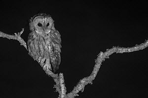 Tawny owl (Strix aluco) perched, taken with infrared camera at night, France, August,  -  Eric  Medard