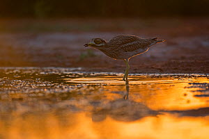Eurasian Stone curlew (Burhinus oedicnemus) in water at dusk, Belchite Spain July - David Tipling
