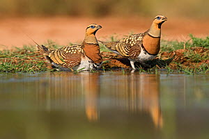 Pin-tailed sandgrouse (Pterocles alchata) two males soaking breast feathers to carry water back to young, Belchite, Aragon, Spain, July  -  David Tipling