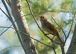 Nightingale (Luscinia megarhynchos) in song, Camargue Provence France, May - David Tipling