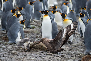 Brown skua (Stercorarius antarcticus) attacking a Gentoo penguin (Pygoscelis papua) chick that has wandered into a King penguin colony (Aptenodytes patagonicus) at Holmestrand, South Georgia January - David Tipling