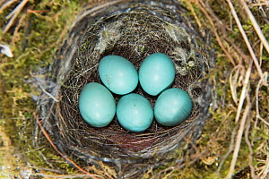 Dunnock (Prunella modularis) nest with five eggs, Norfolk UK, June  -  David Tipling