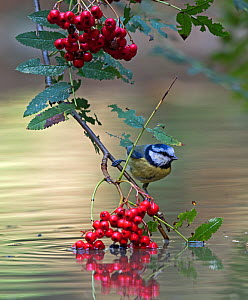 Blue tit (Parus caeruleus) on branch with berries over water, Norfolk, UK, September - David Tipling