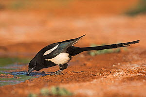 Eurasian magpie (Pica pica) drinking Belchite Spain July  -  David Tipling