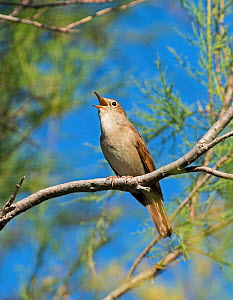 Nightingale (Luscinia megarhynchos) singing, Camargue Provence France May  -  David Tipling