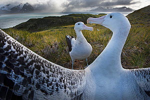 Wandering albatross (Diomedea exulans) pair displaying at dusk in ritual bonding behaviour, Albatross Island in Bay of Isles, South Georgia January - David Tipling