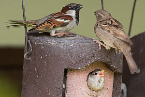 House sparrow (Passer domesticus) pair at nestbox with chick at breeding colony Norfolk, UK May - David Tipling